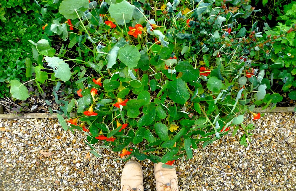 Nasturtiums and some timberland boots (mine!) at River Cottage HQ