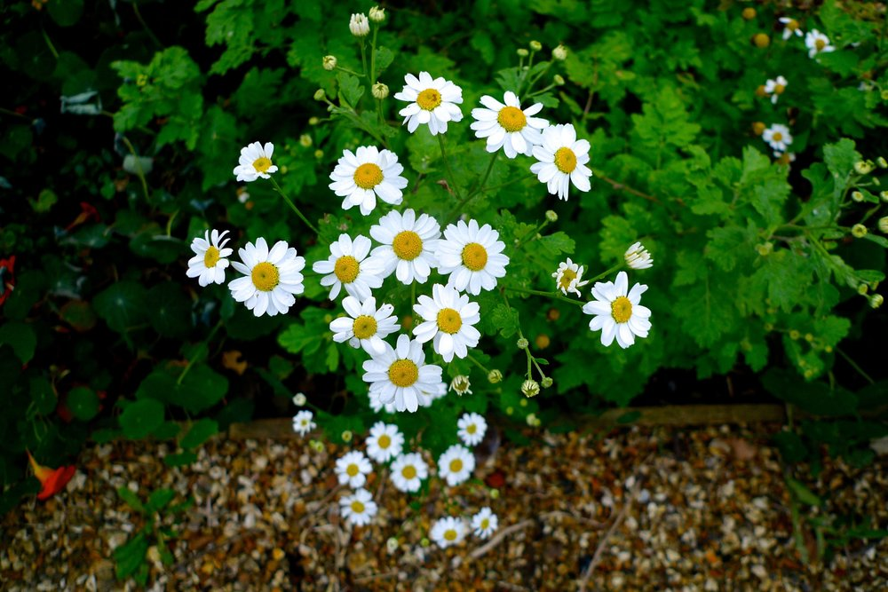 Beautiful feverfew in the border at River Cottage HQ