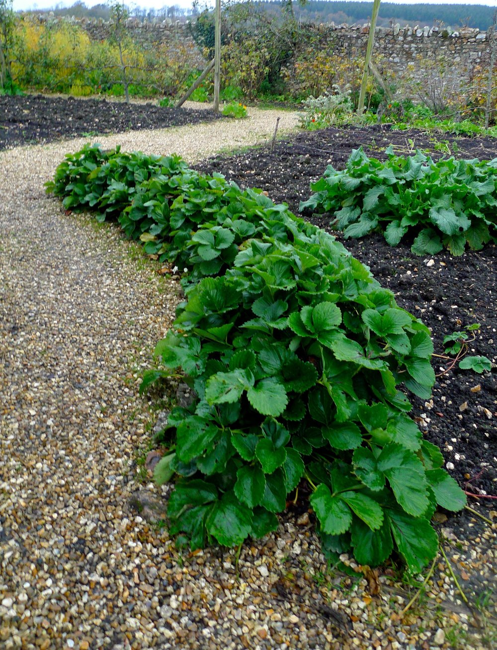 A border of strawberries - I knew it was a good idea and something I'm planning on my allotment - great idea HFW!