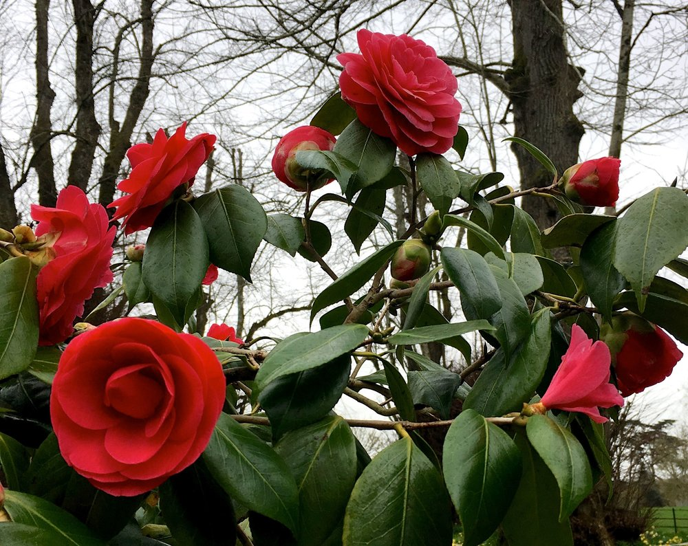 Red camellias at Kingtson Lacy in Dorset