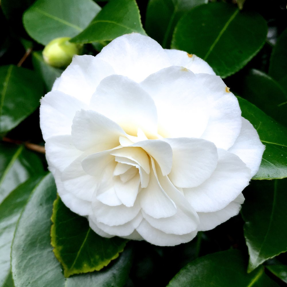 A white camellia at Kingtson Lacy in Dorset