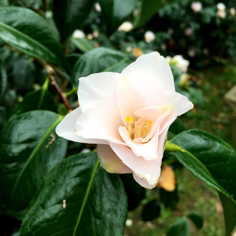 An almost star-shaped camellia at Kingtson Lacy in Dorset