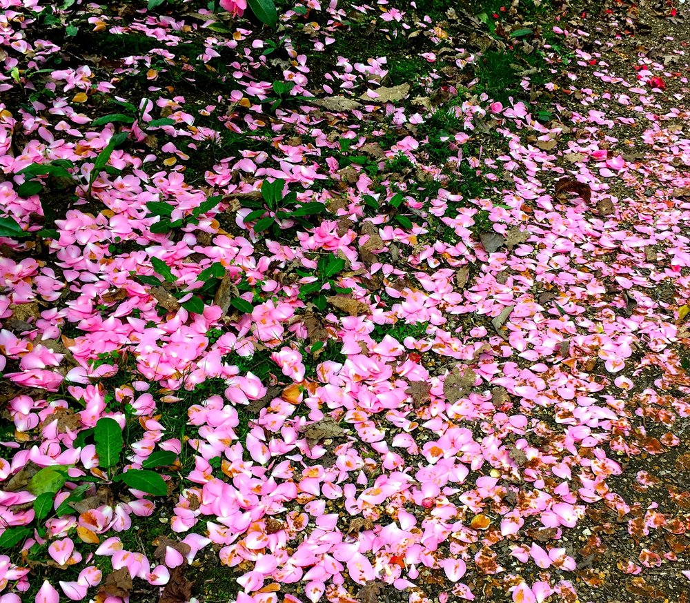 fallen camellia confetti at Kingtson Lacy in Dorset