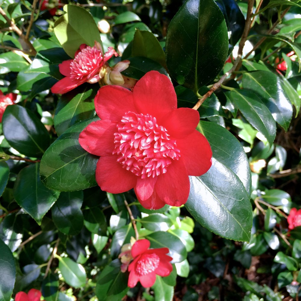 A red camellia with an unusual centre at Compton Acres garden in Dorset