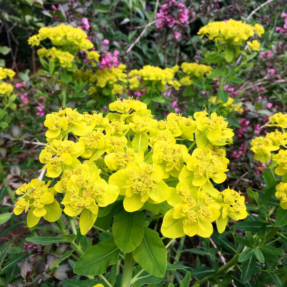 ACID GREEN EUPHORBIAS IN GREENWICH PARK