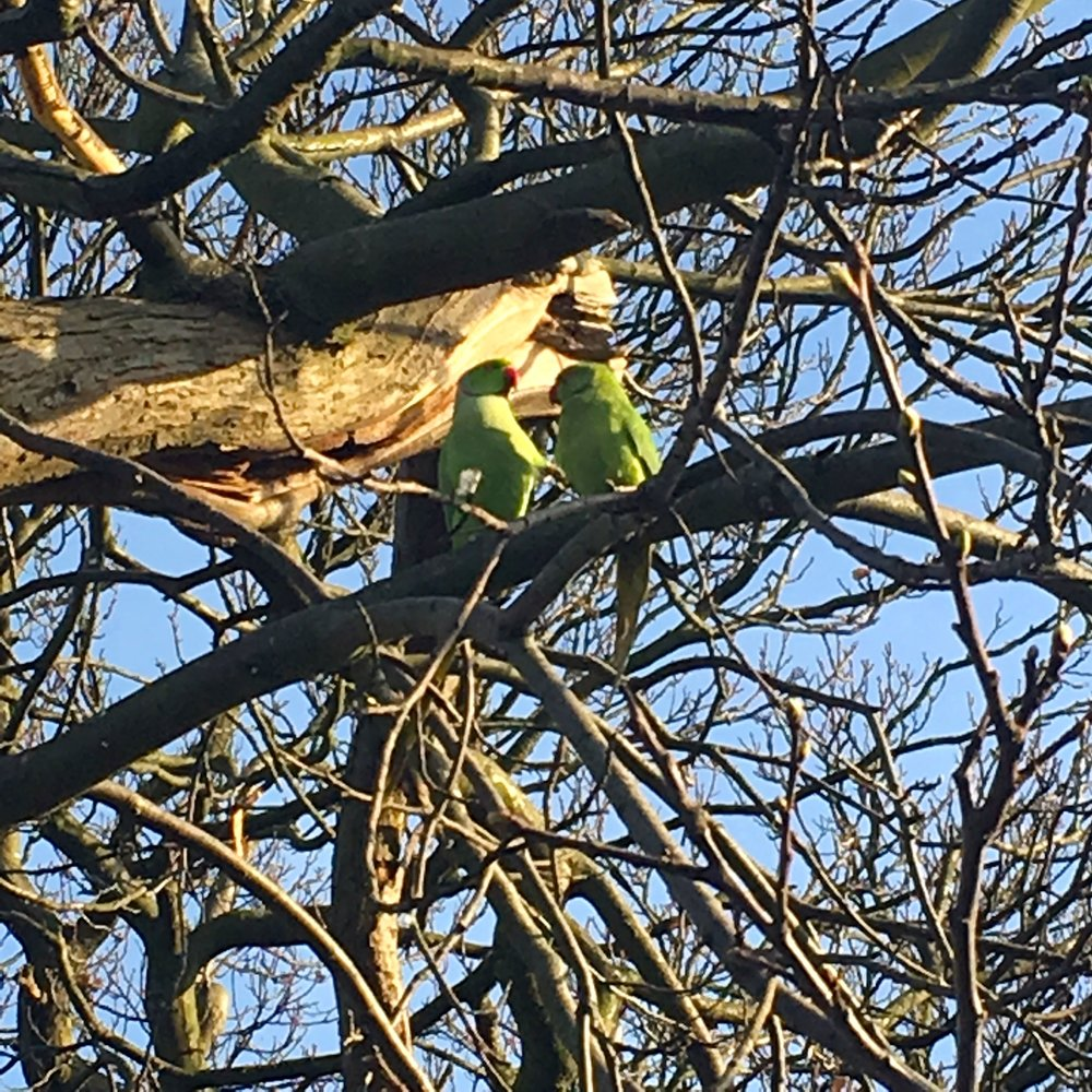 parakeets in a tree in greenwich park london