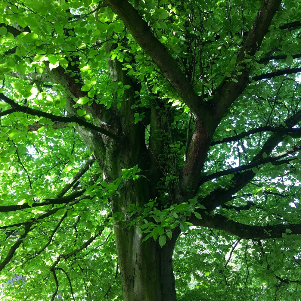 under the canopy of trees in greenwich park london