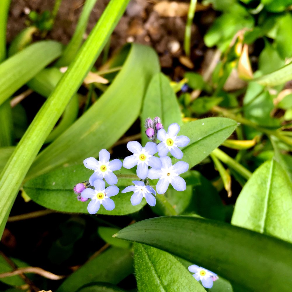 "the forget me nots are pretty but already getting to the ""treat as a weed"" stage"