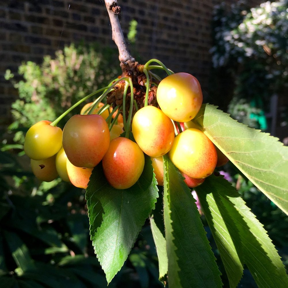 cherries in the sun- but will we beat the pigeons to them?