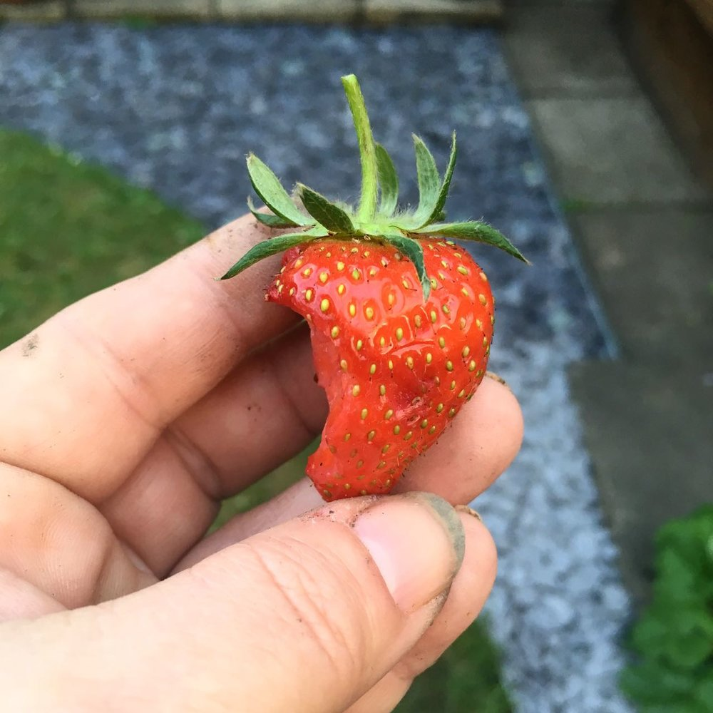 IT'S NOT JUST ME BEING BITTEN, THIS STRAWBERRY SUFFERED A SIMILAR FATE, AND IS A MUCH BETTER PHOTO THAN ANY KIND OF INSECT BITE!