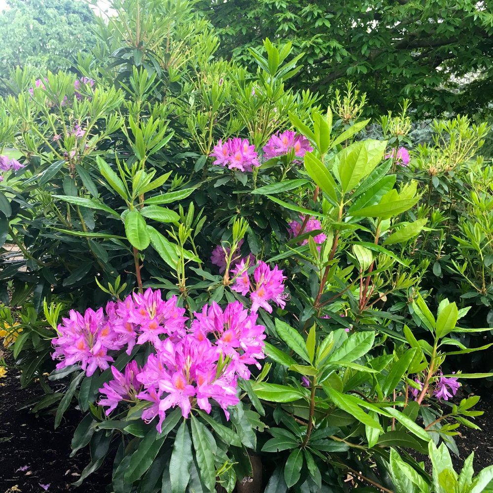Rhododendrons flowering by the end of the month