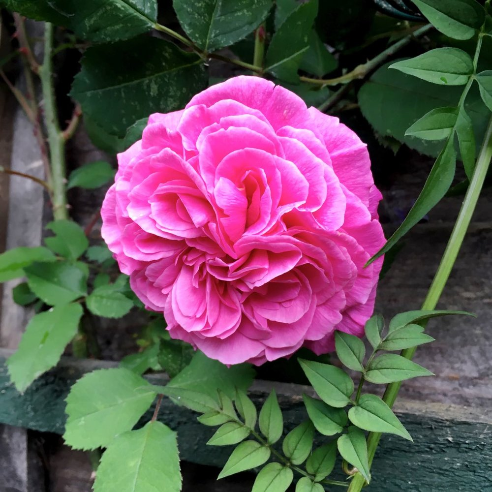 And Gertrude Jekyll is flowering