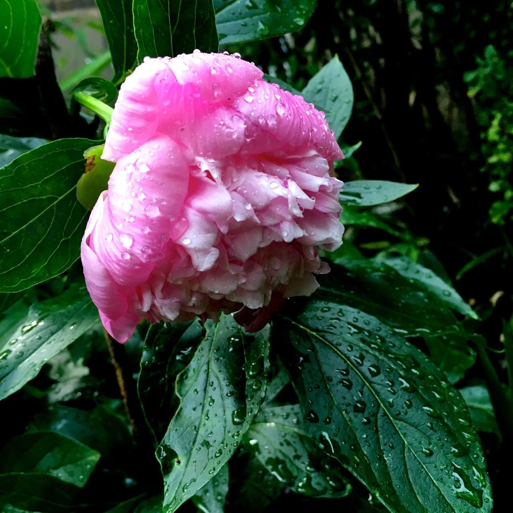 peonies, so many peonies in the rain