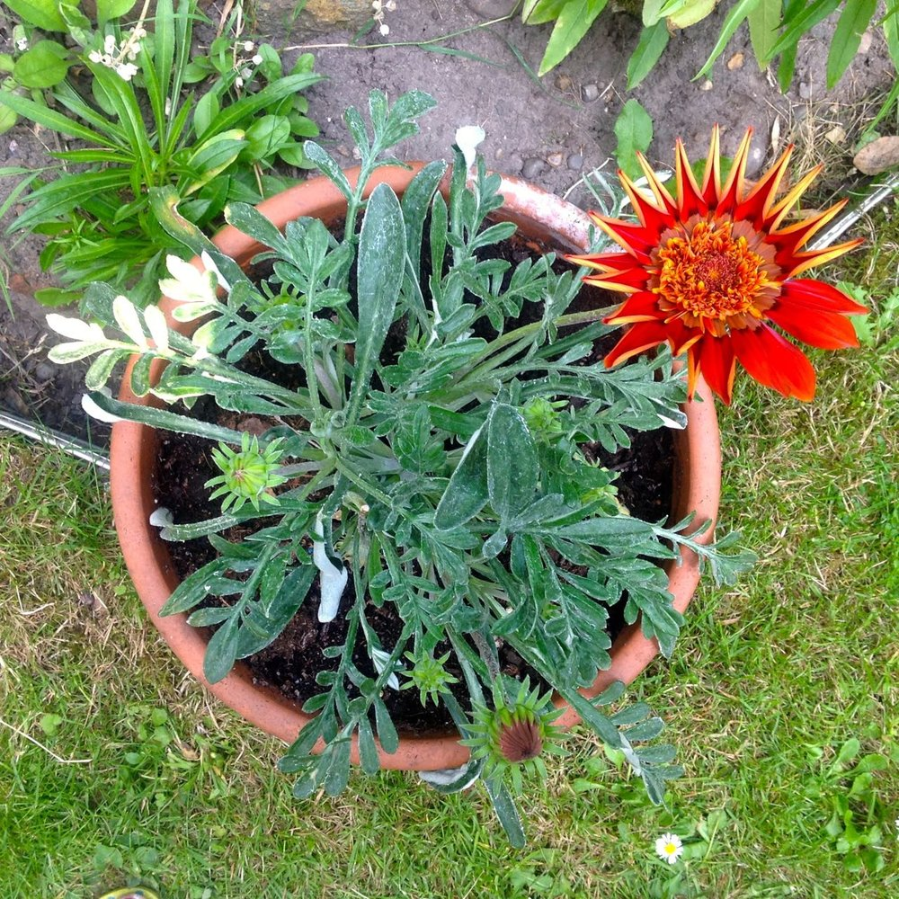 One plant per pot - impact planting with this sun loving gazania