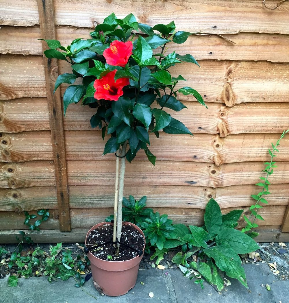 A standard hibiscus, in quite a small pot - what it needs is a much larger pot