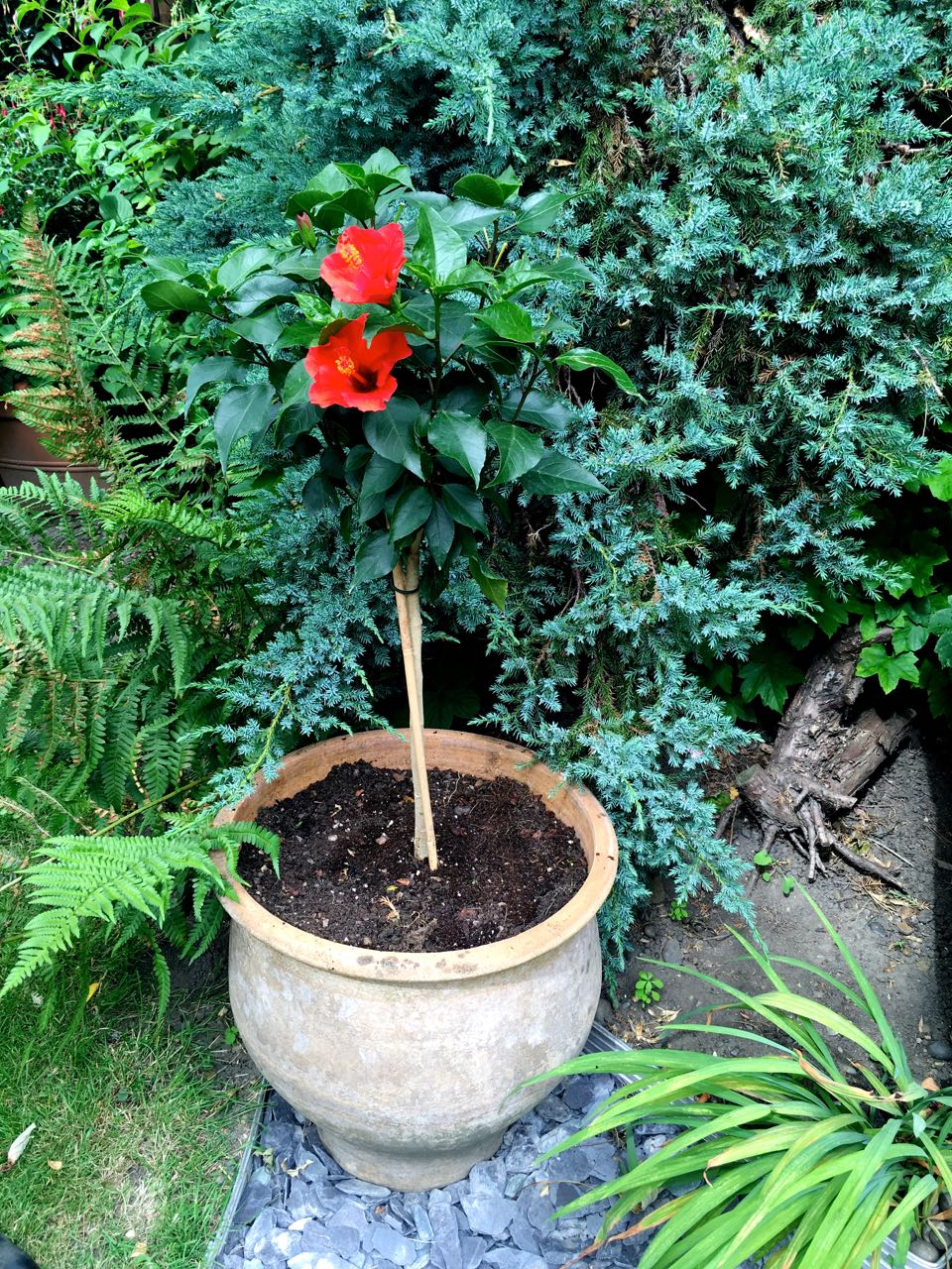 And quickly replaced with the new standard hibiscus