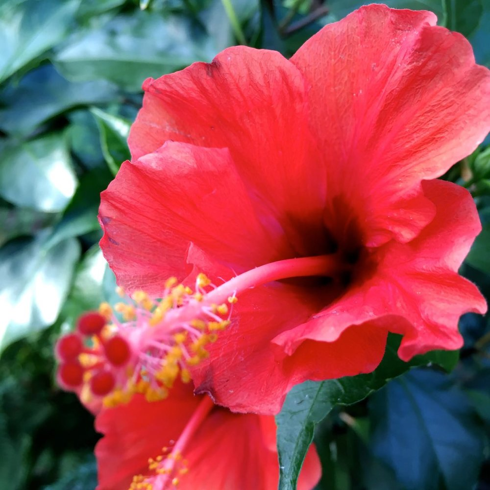 The flowers really are amazing on this hibiscus, which was a present for our 110th birthday/anniversary