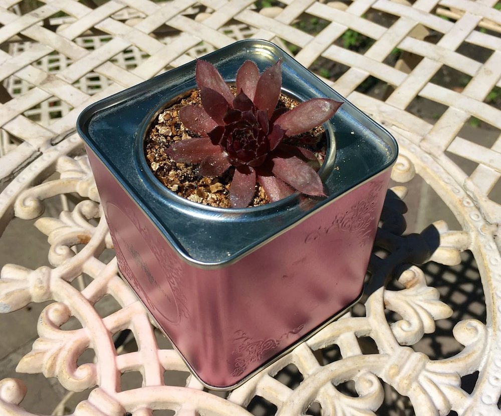 A succulent in a tin makes a fab table decoration