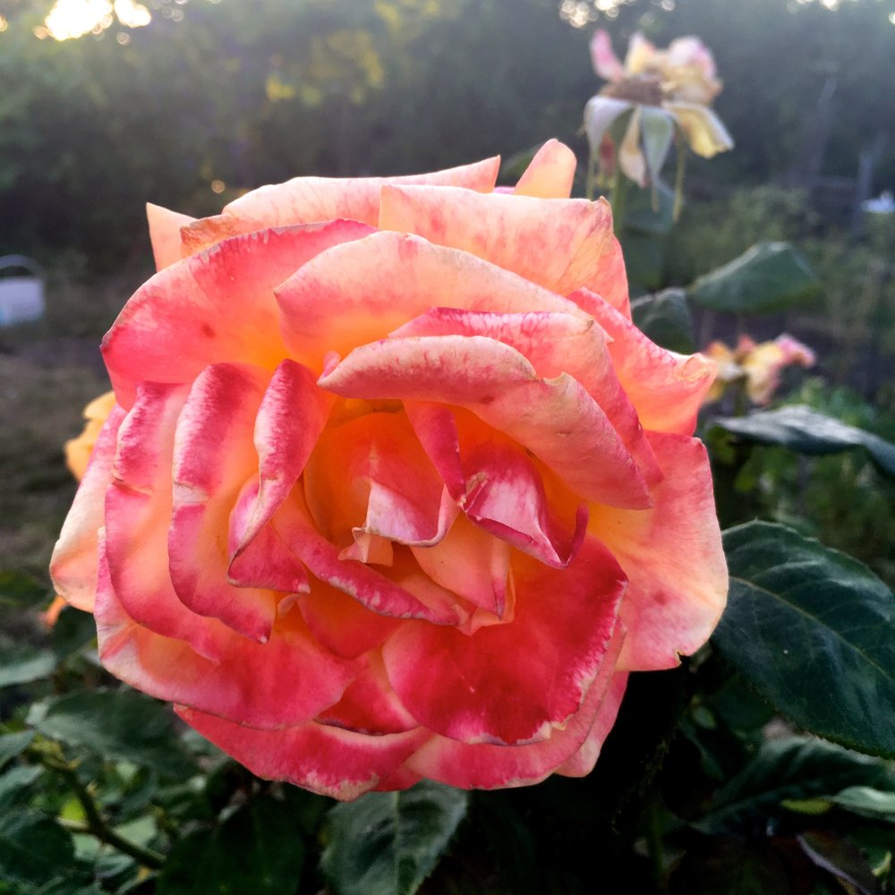 A beautiful old rose on the plot next to us at our allotment site