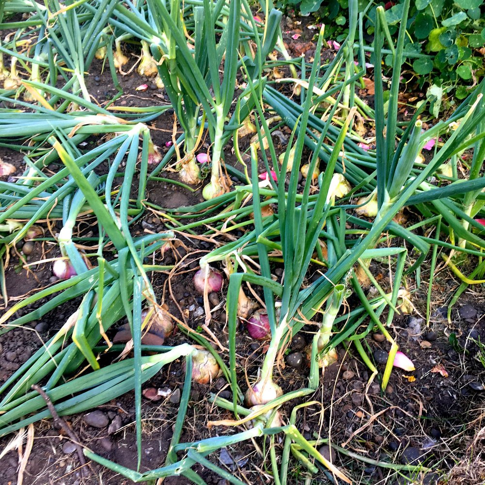 And onions that look like onions on the plot next to us at our allotment site