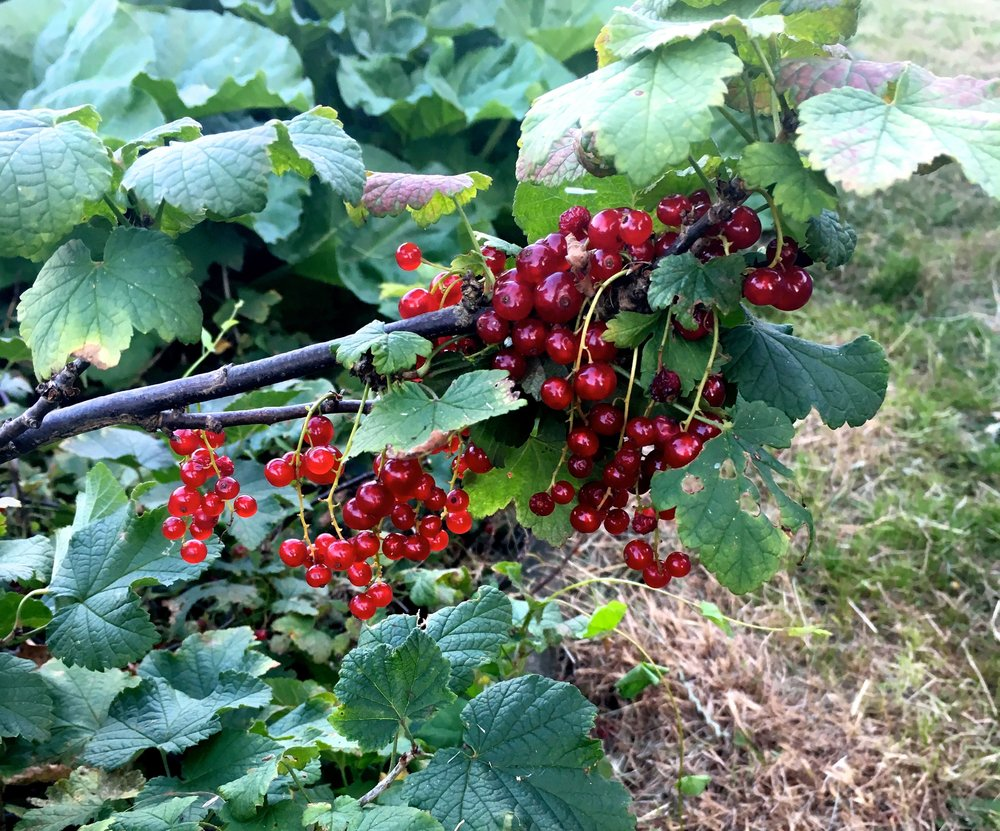 redcurrants on the plot next to us at our allotment site