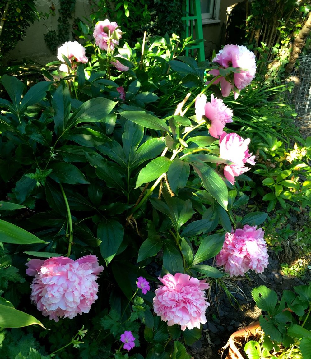 OUR BEST PEONY YEAR SO FAR