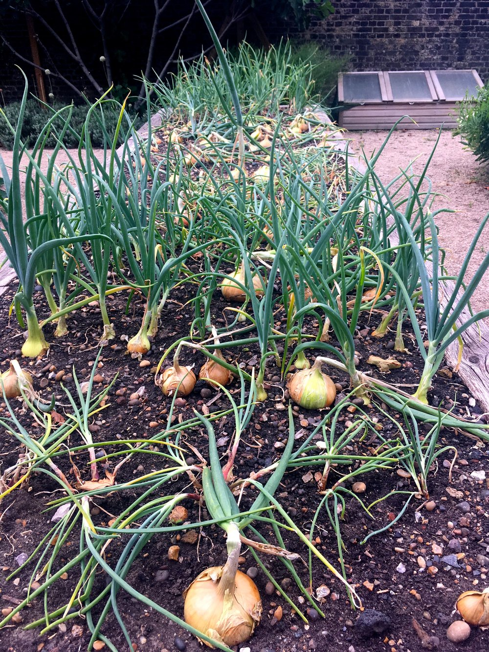 Someone's had more onion success than me