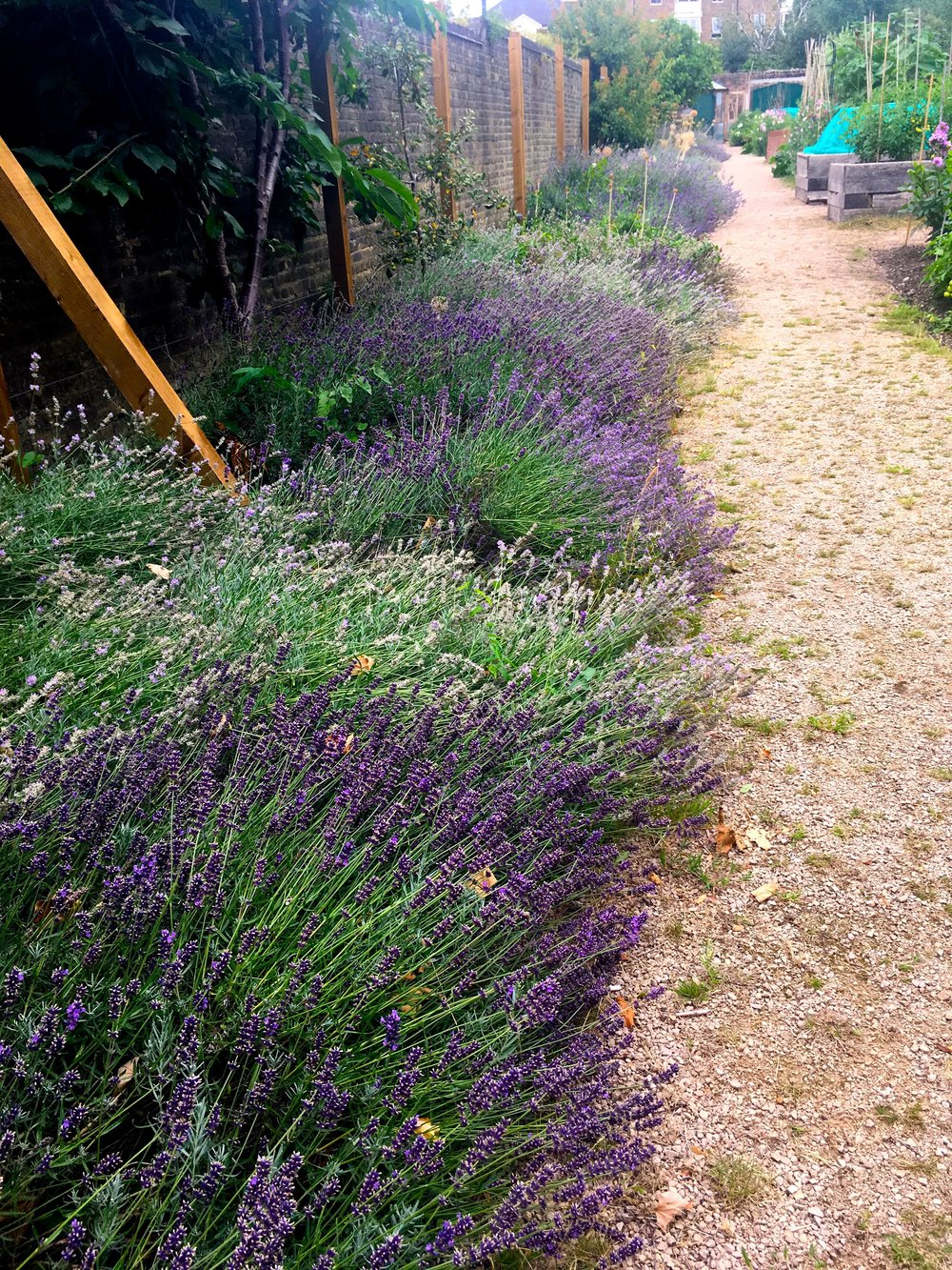 LAVENDER EDGING THE GRAVEL PATH, UNSURPRISINGLY IT WAS FULL OF BEES