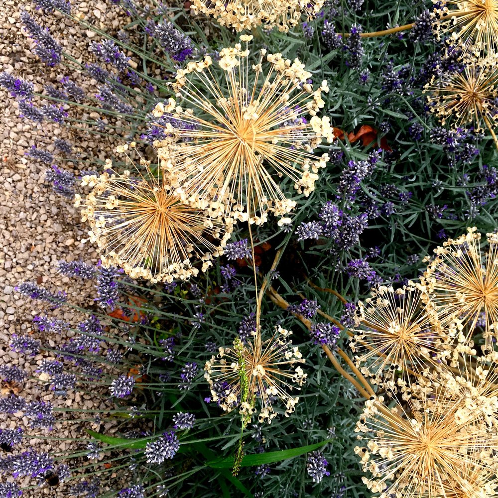 ALLIUM HEADS AGAINST THE LAVENDER