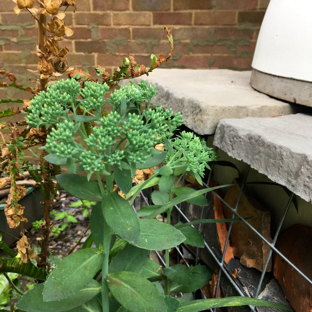 sedums growing in our gabion planters