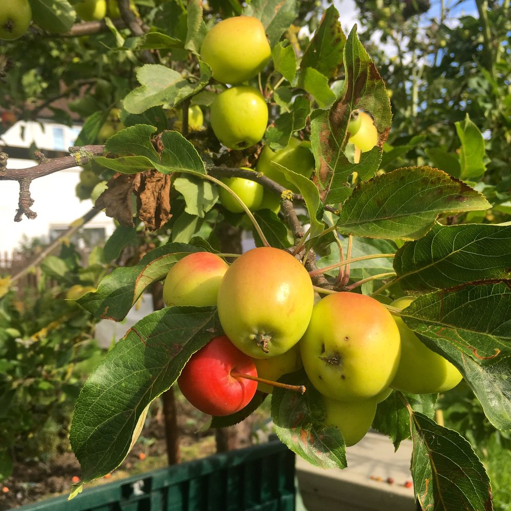 the crab apples are doing well again
