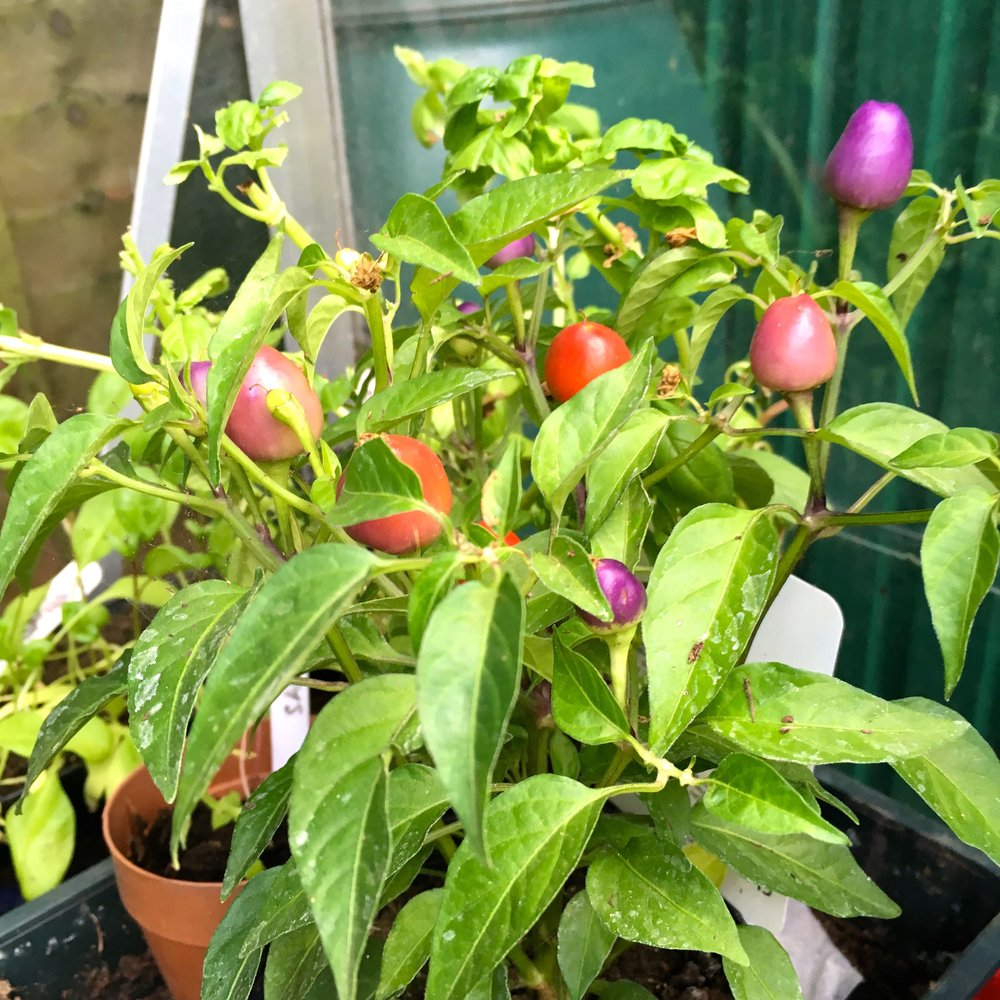 A chilli plant from RHS Hyde Hall