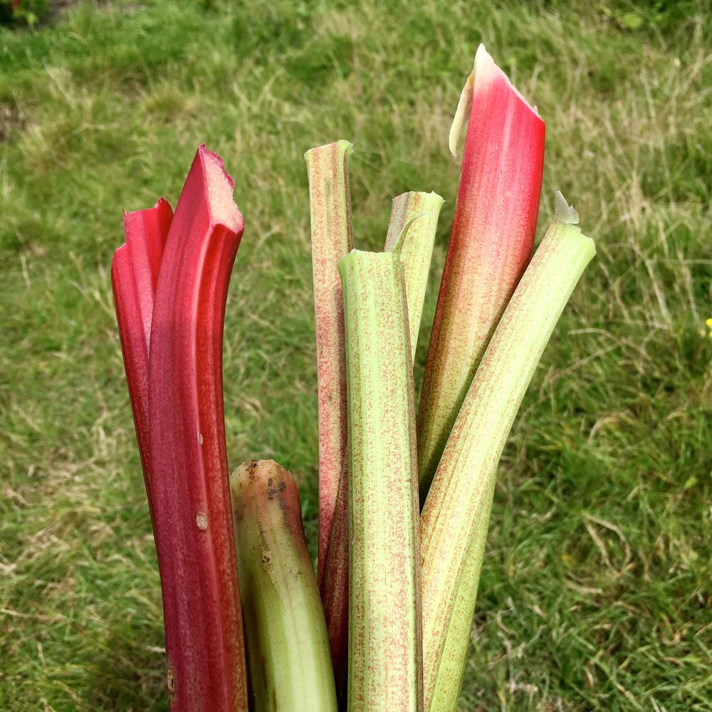 Another picking of rhubarb during National Allotment Week