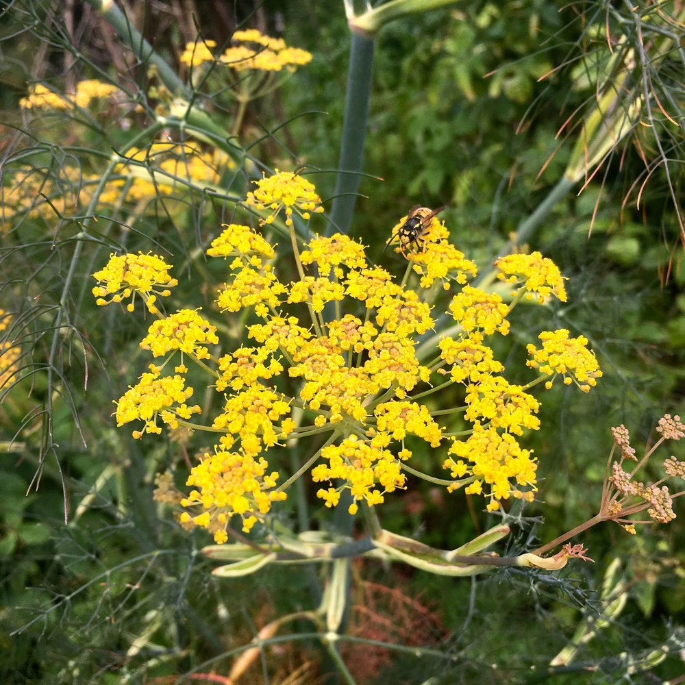 Dill in flower in the knot garden at Helmington Hall