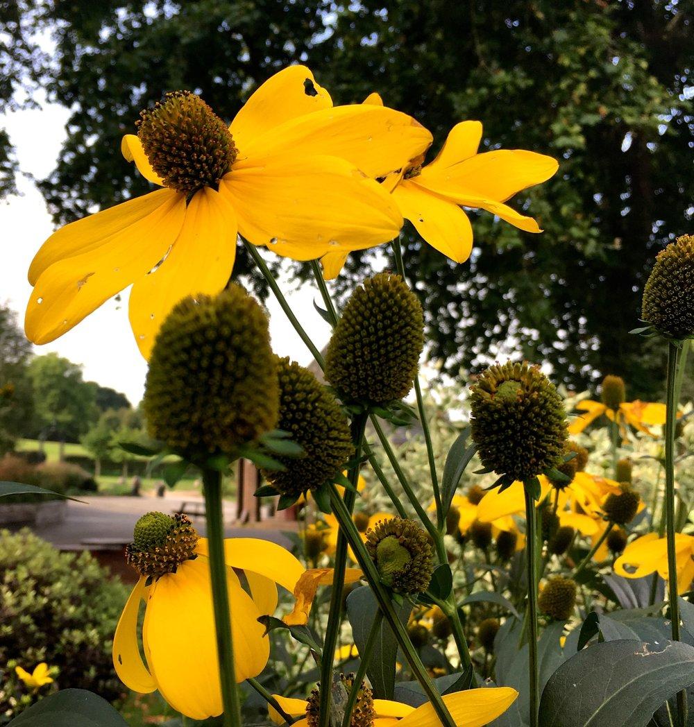 cheery yellow coneflowers in greenwich park