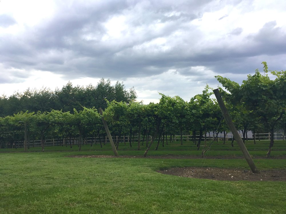 A look at the Oak Hill vineyard in Suffolk