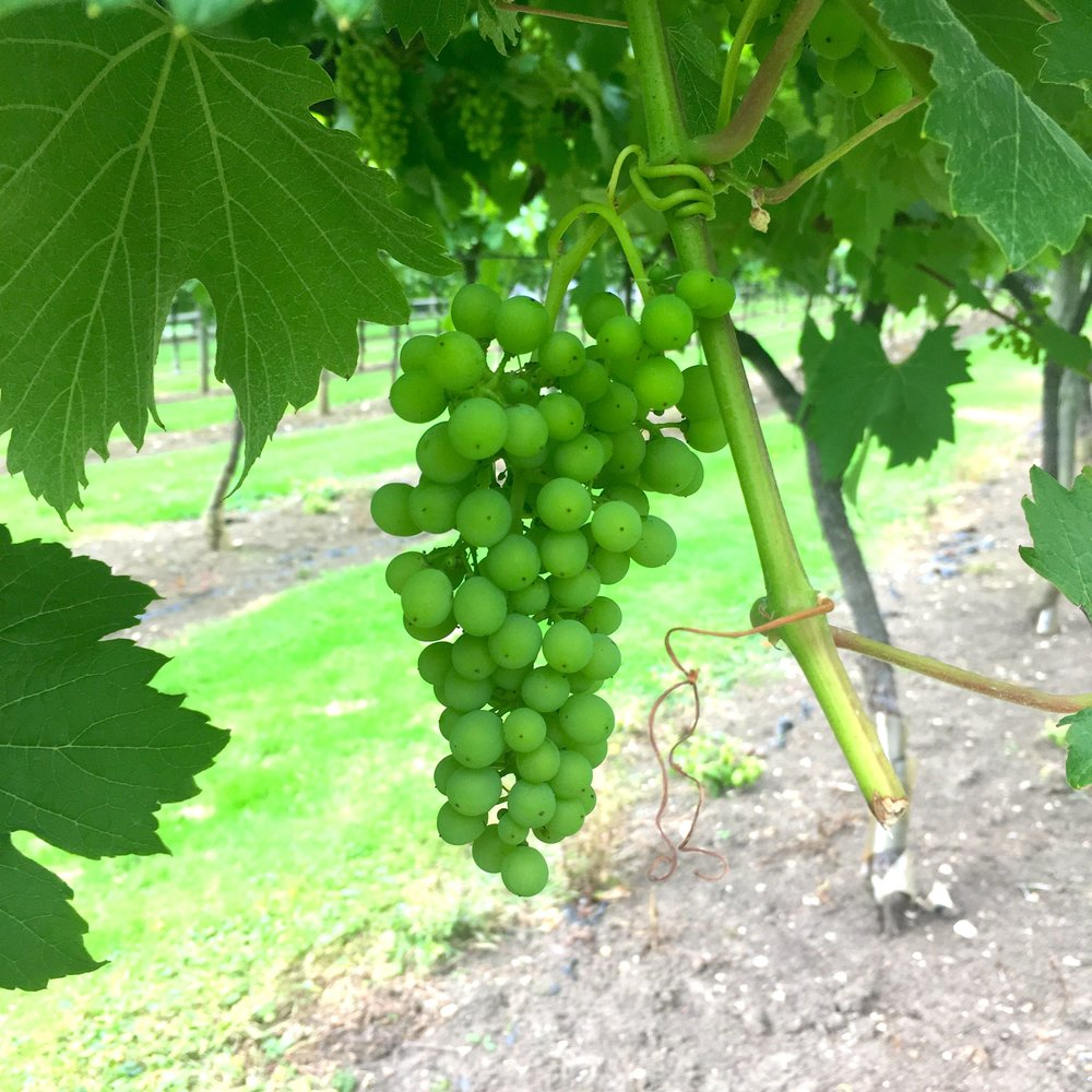 Admiring the grapes on the vines at the Oak Hill vineyard in Suffolk