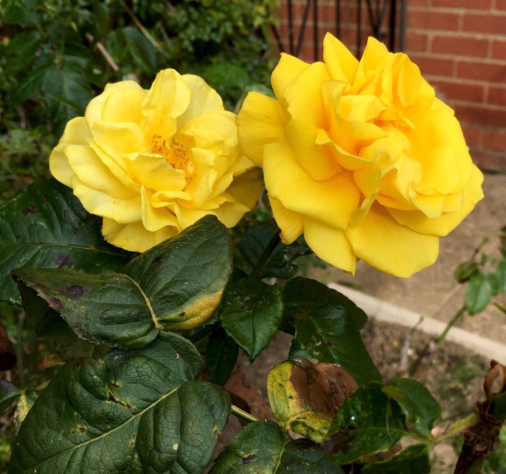 fragrant yellow roses in dad's norfolk garden