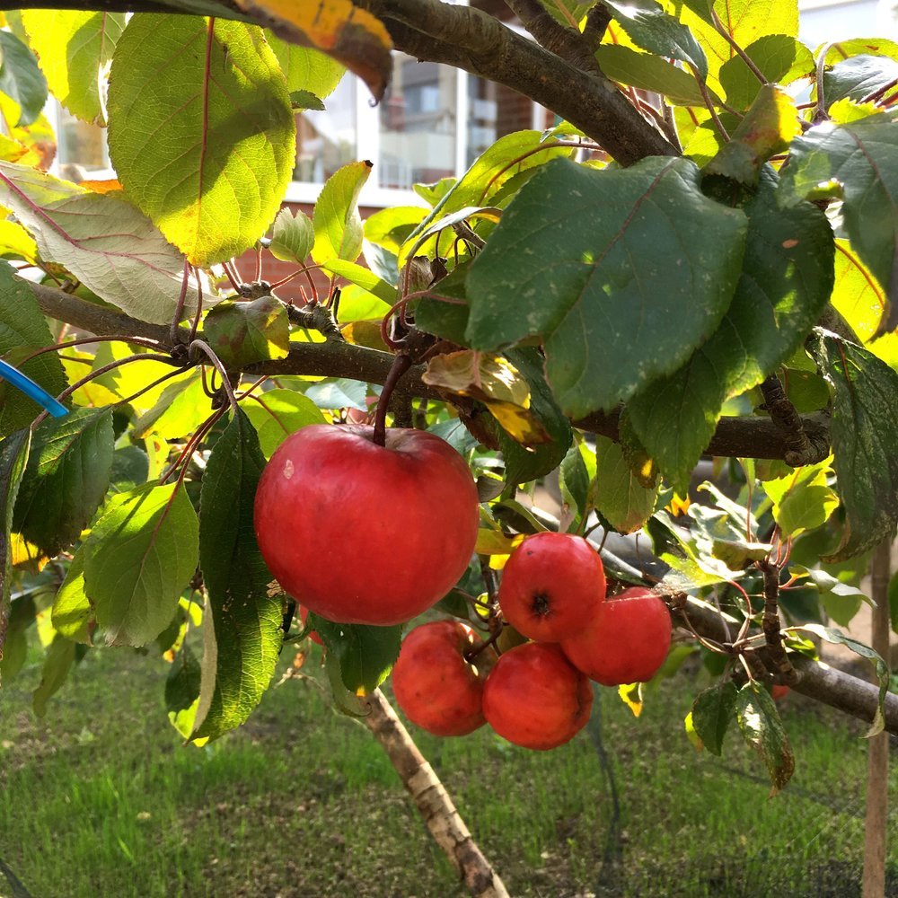And apples on the tree in dad's norfolk garden