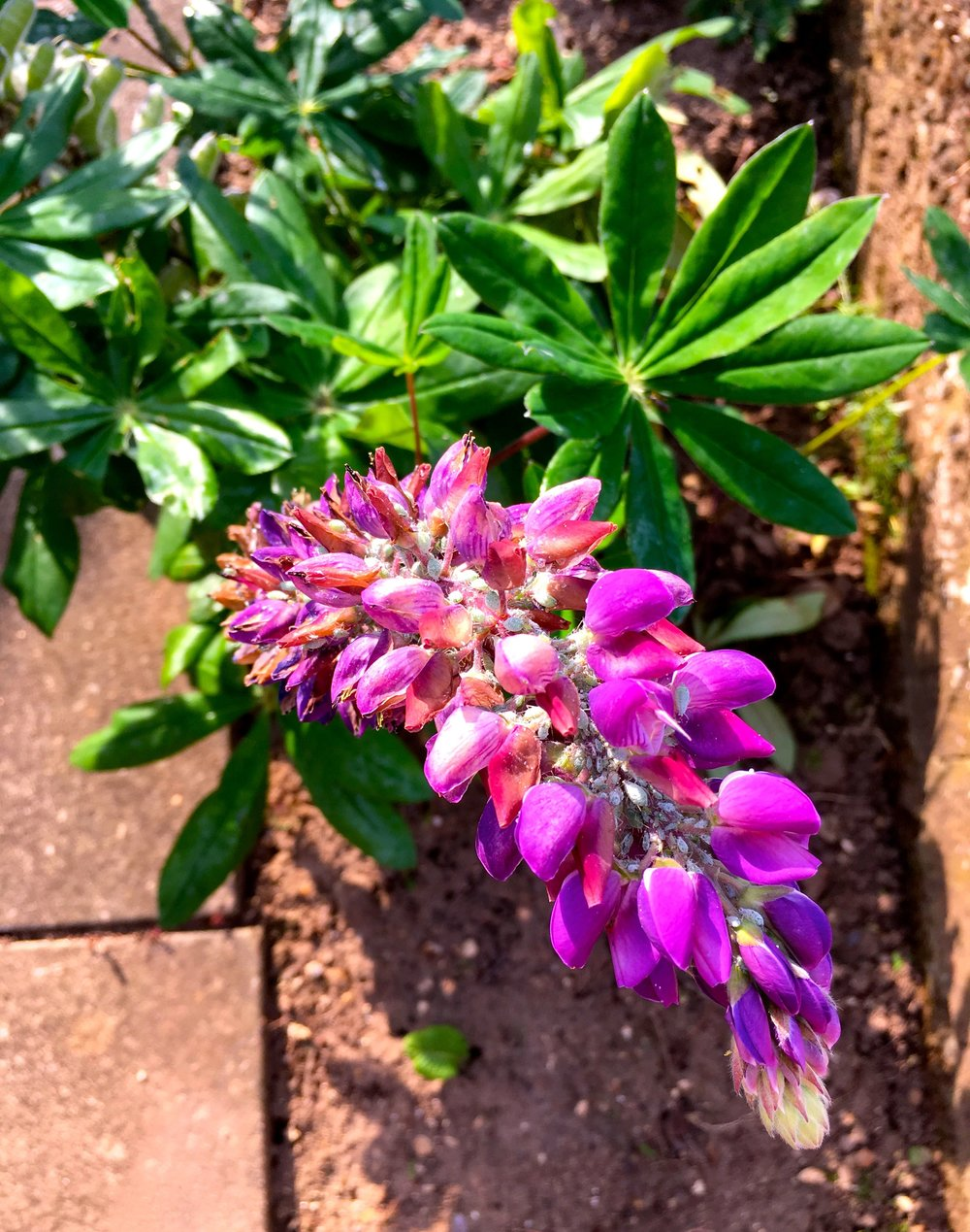 And the lupins are setting seed in dad's norfolk garden