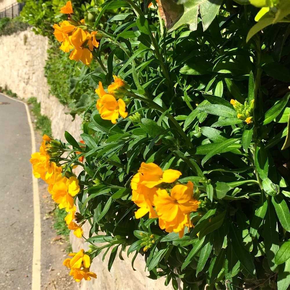 PRETTY YELLOW WALLFLOWERS (IT WAS MARCH, SO THAT'S OK)