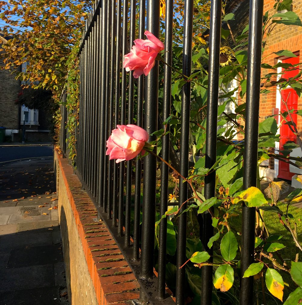 roses in bloom peeking through the railings in greenwich