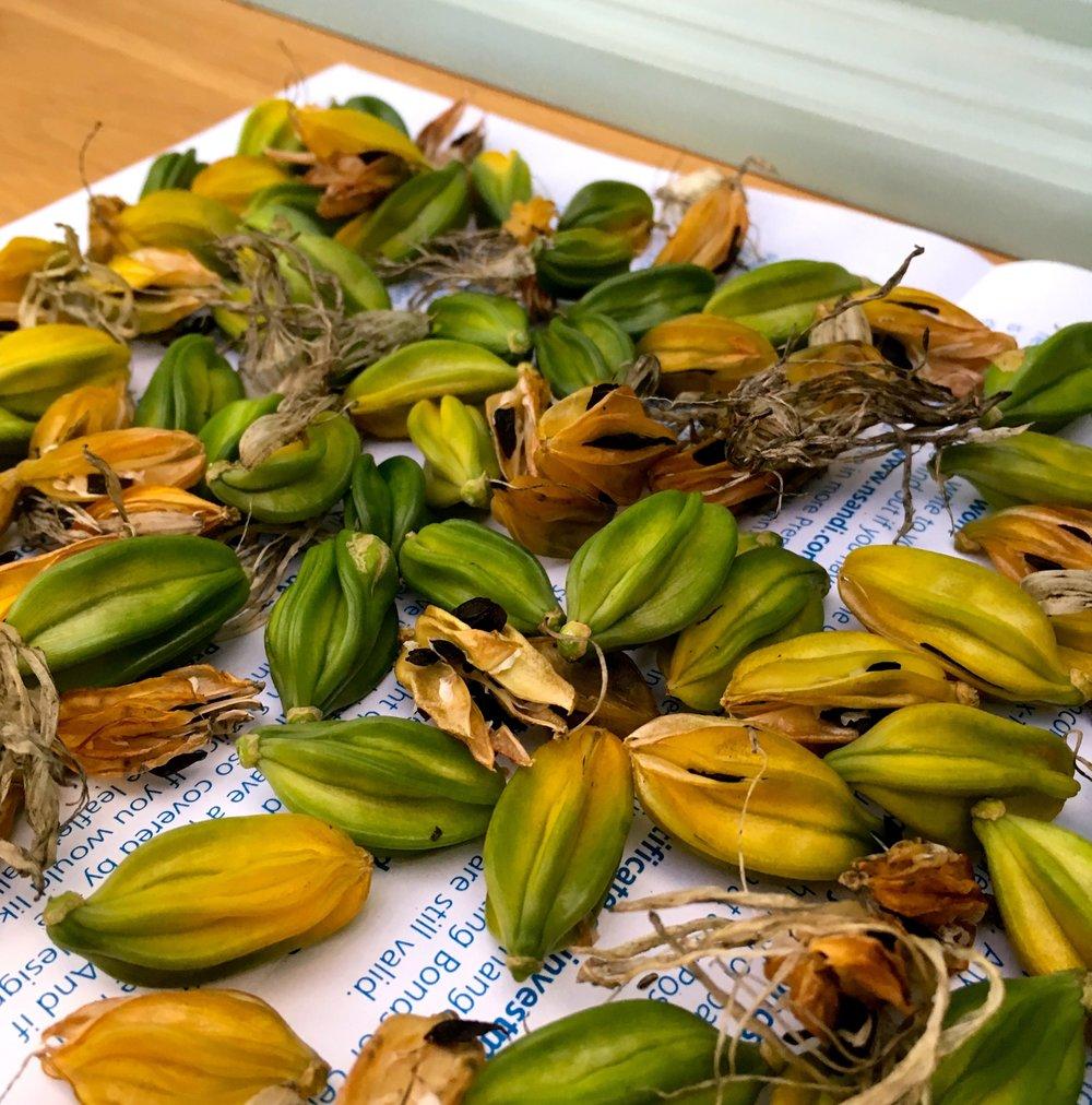 Agapanthus seeds