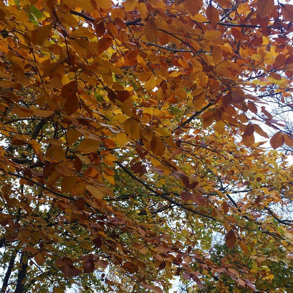 LOOKING UP, AUTUMN LEAVES