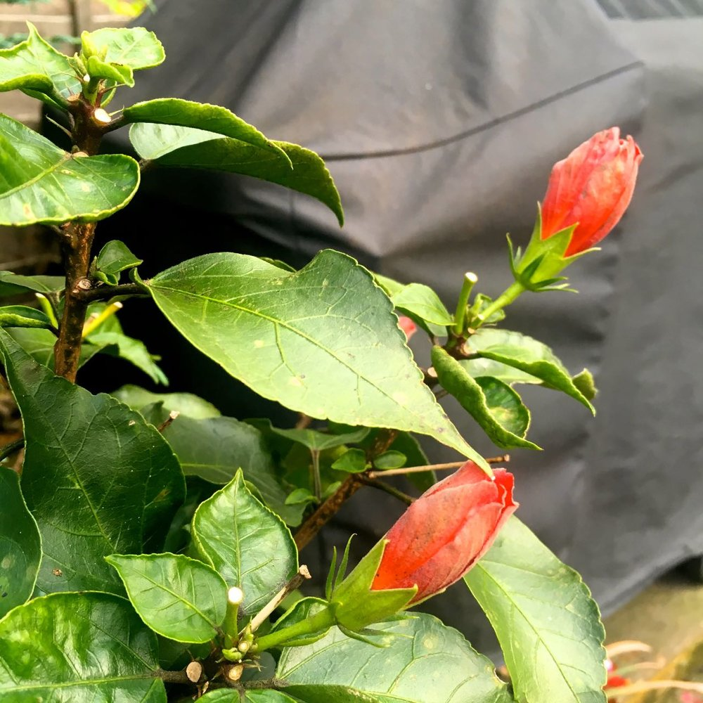 The hibiscus is still in bud too