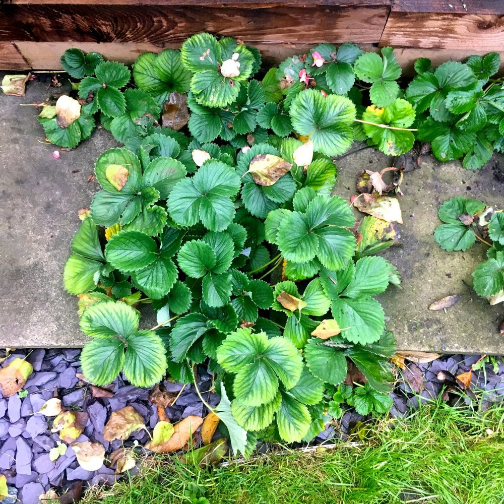 The lone strawberry plant between the paving slabs has filled out too