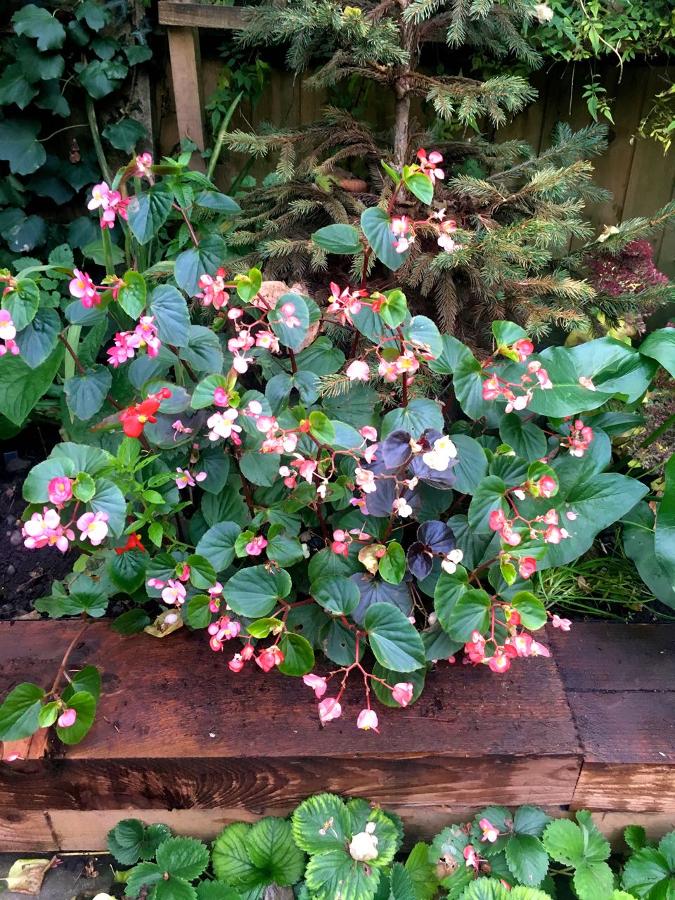 The begonias are still growing and flowering