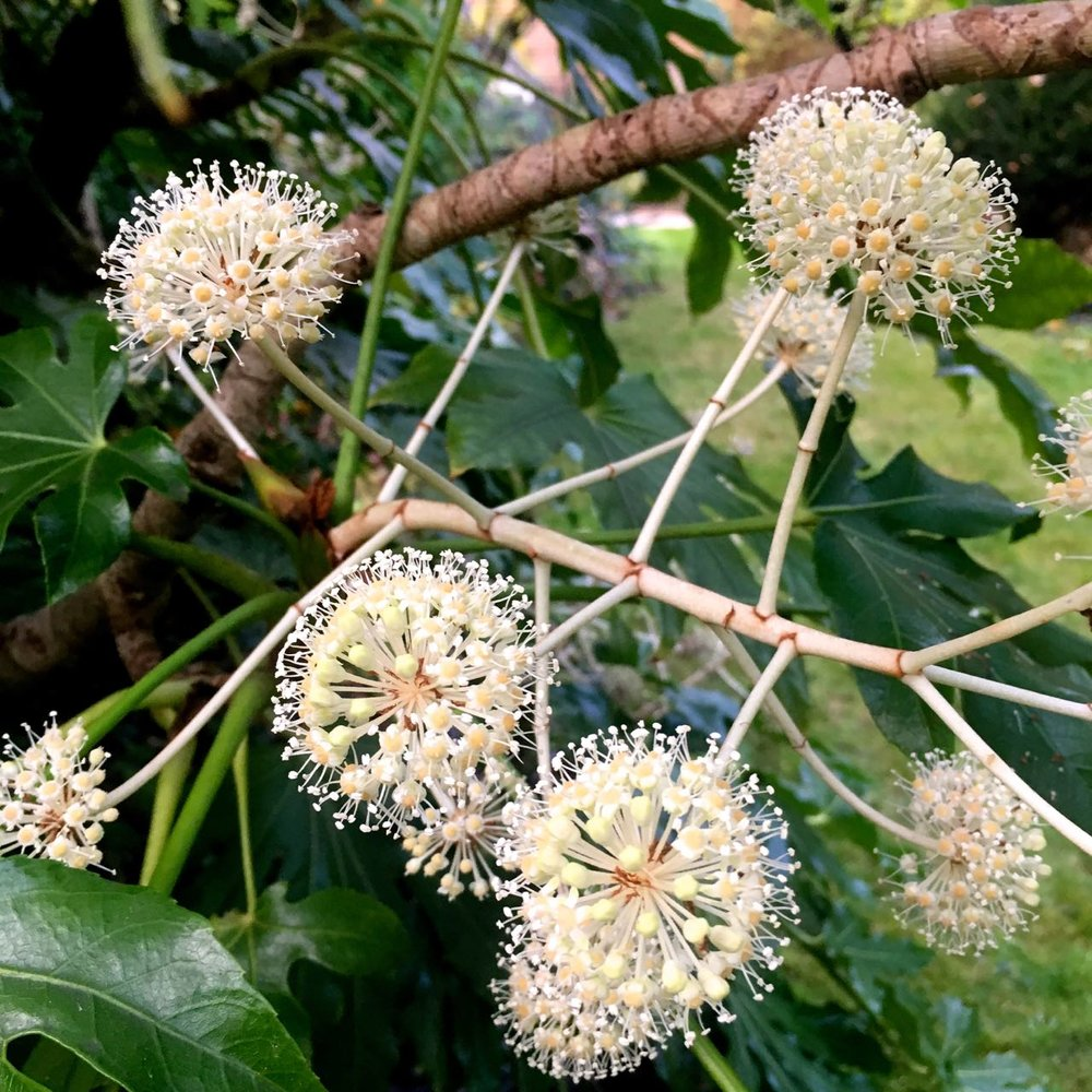 Fatsia flowers are almost like christmas baubles