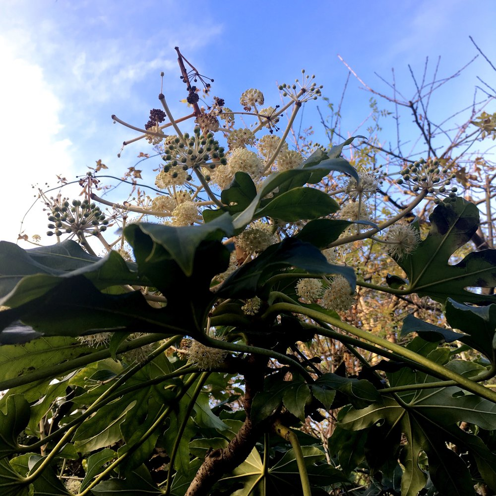 looking up to at the fatsia