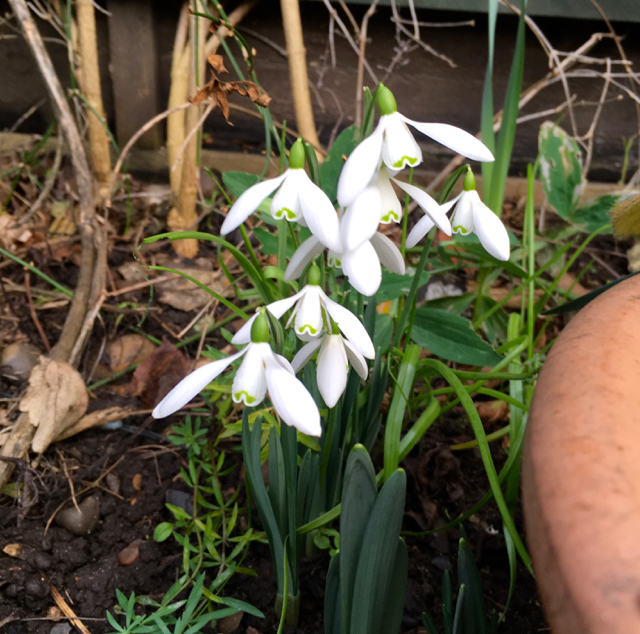 snowdrops in my garden in january